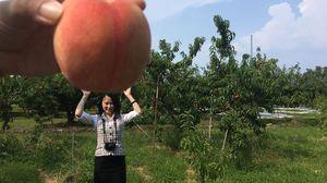▽YESを選んだあなたが収穫した桃はこちら