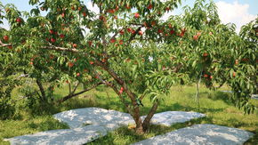 優しさ溢れる川手農園さんで桃狩り体験★