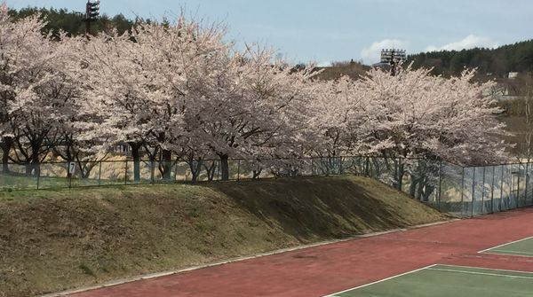 ほくとの桜