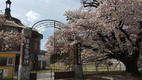 北杜市はあちらこちらで桜の花をたのしめます
