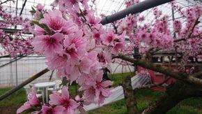 日本一早いお花見に行ってみませんか!