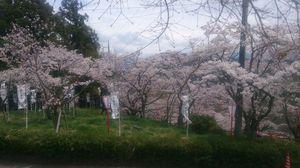 桜の祭りでは県内随一