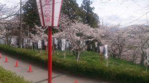 桜の名所『大法師公園』