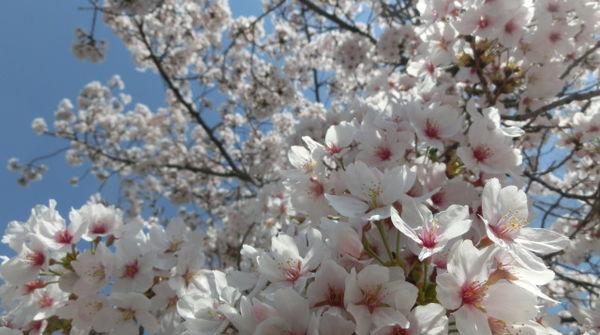 取材日は桜も満開!!!