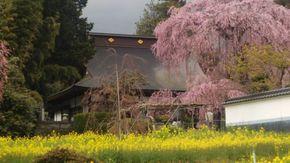 イトザクラと樋口一葉女史文学碑がある慈雲寺