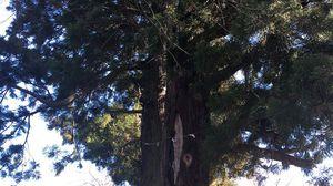 樹齢300年を超える一本杉