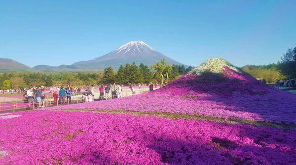 富士山と芝桜富士