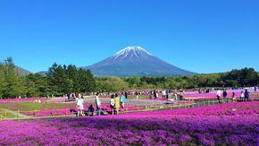 富士山麓に咲き誇る約80万株の芝桜!!