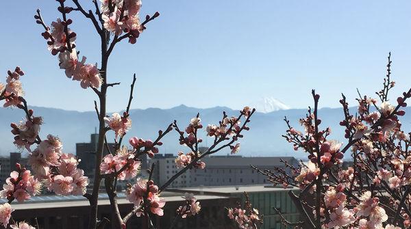 春を告げる梅と富士
