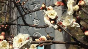 甲府盆地の歴史の地、酒折に咲く春を告げる梅の花
