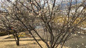 桜満開 写真は梅ずら