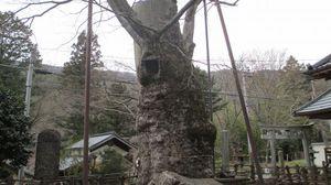 日本有数の大きさ 根古屋神社の大ケヤキ